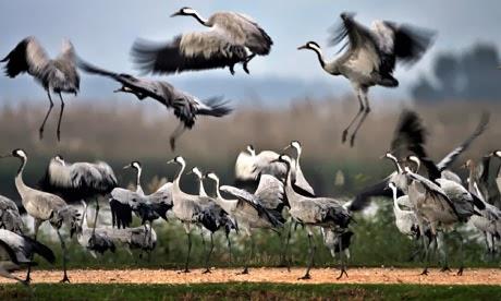 The Anatolian Crane – Symbol and reality | Turkey File