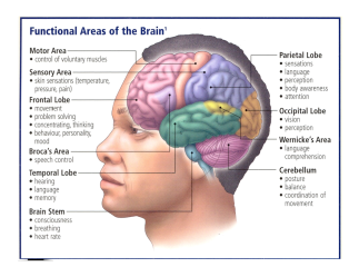 Diagram of human brain showing location of occipital lobe