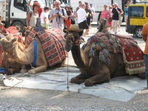 Camels in Turkey - a photo op for tourists