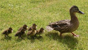Quack quack, we're coming, mom
