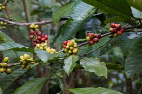 Berries on the Coffea plant