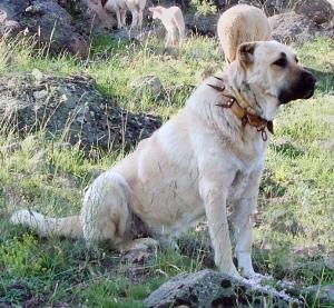 Sivas's famous kangal dog