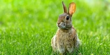 rabbit_istock_620x310