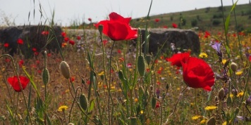 turkeypoppies_620x310