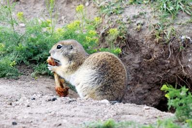 ararat squirrel
